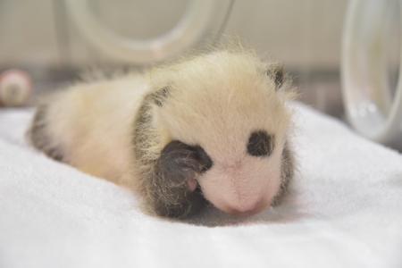 パンダの赤ちゃんの成長日記vol.2 誕生時の体重から約10倍に成長し、白黒模様もハッキリしました。